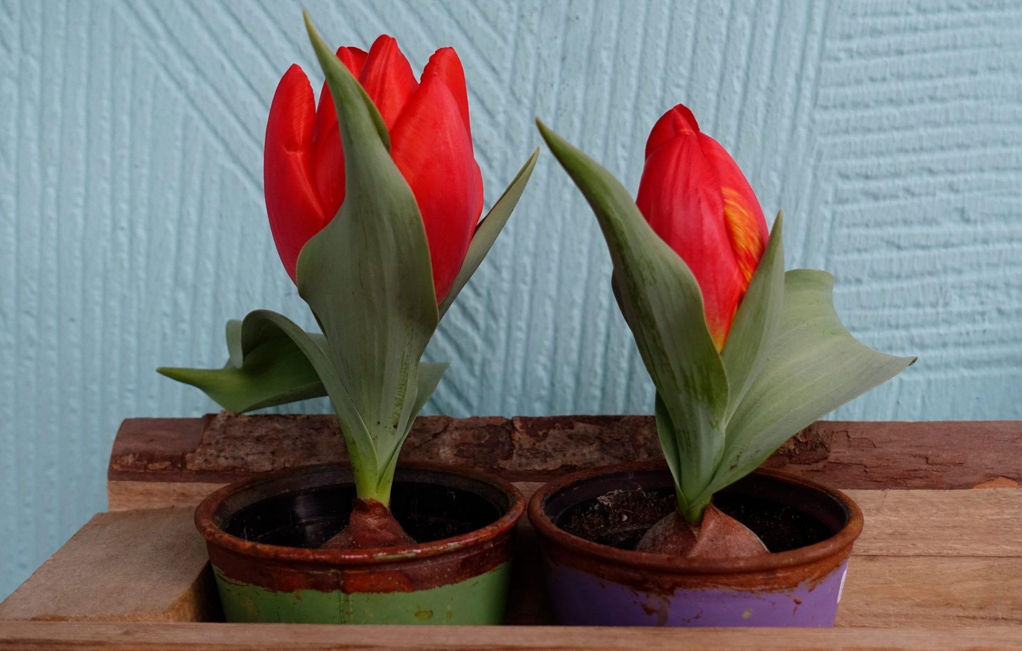 Zwei Tulpen im Topf